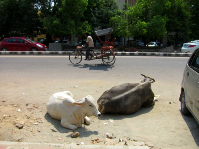 Cows chilling in the road