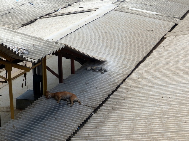 Dogs on a roof