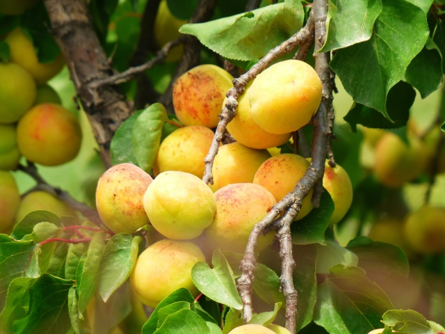 Apricots