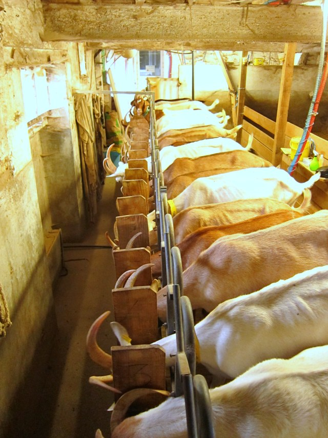 The ladies lined up for milking