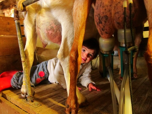 A little milking helper